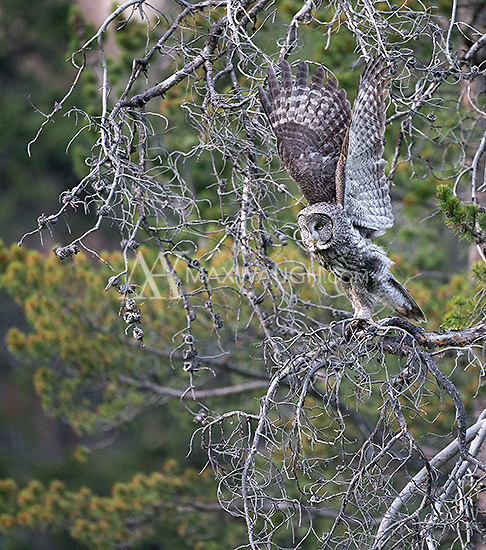 A great gray owl photographed in Yellowstone's northeast corner.