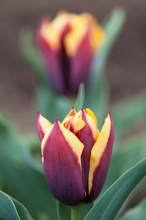 Tulipa 'Cayenne', mid April.