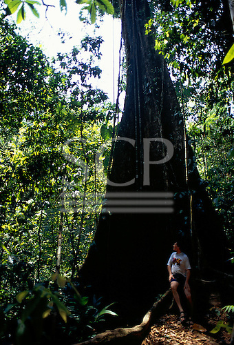 Osa Peninsula, Costa Rica. Corcovado National Park; tourist at the foot of huge tree with buttress roots.