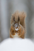 Red squirrel (Sciurus vulgaris) in snow-laden forest. Cairngorms National Park, Scotland.