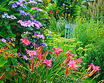 Vashon-Maury Island, WA  Flowering daylily and hydrangea at the entrance of a summer perennial garden