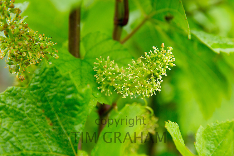 Chardonnay grapes forming in mid-July at Champagne Taittinger near Epernay, Champagne-Ardenne, France