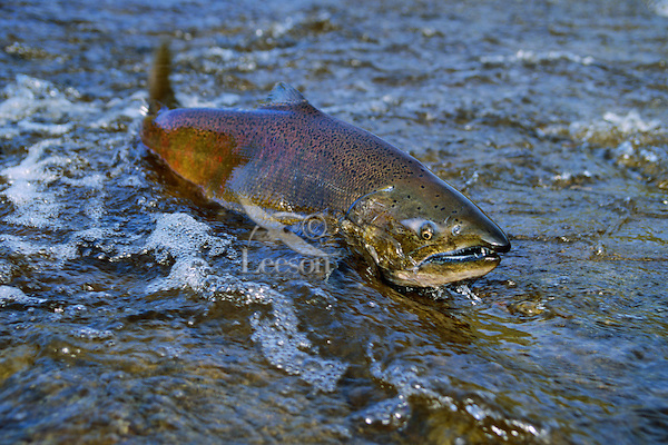 Chinook or king salmon (Oncorhynchus tshawytscha) negotiating shallow water in spawning stream.