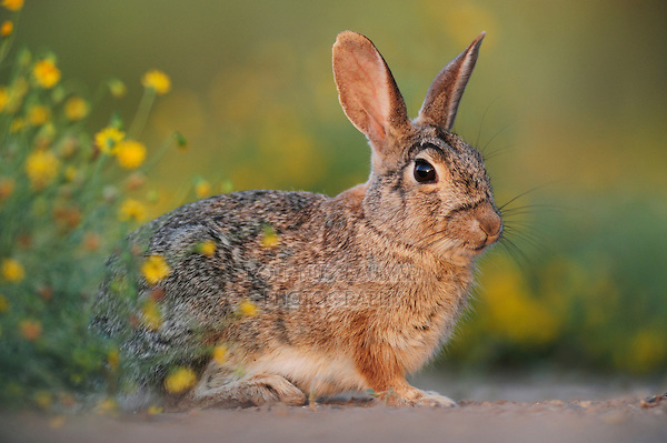 Eastern Cottontail (Sylvilagus floridanus), adult,  Laredo, Webb County, South Texas, USA