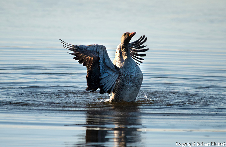 Greylag Goose, Anser anser, flapping wings on water, Sandwich, Kent UK,