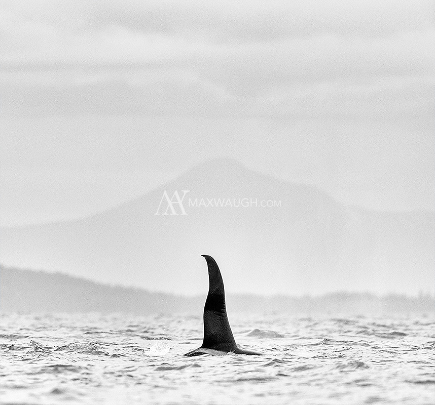 We saw several orcas during our whale watching outing in the San Juans, but the rolling waves made photography very difficult.