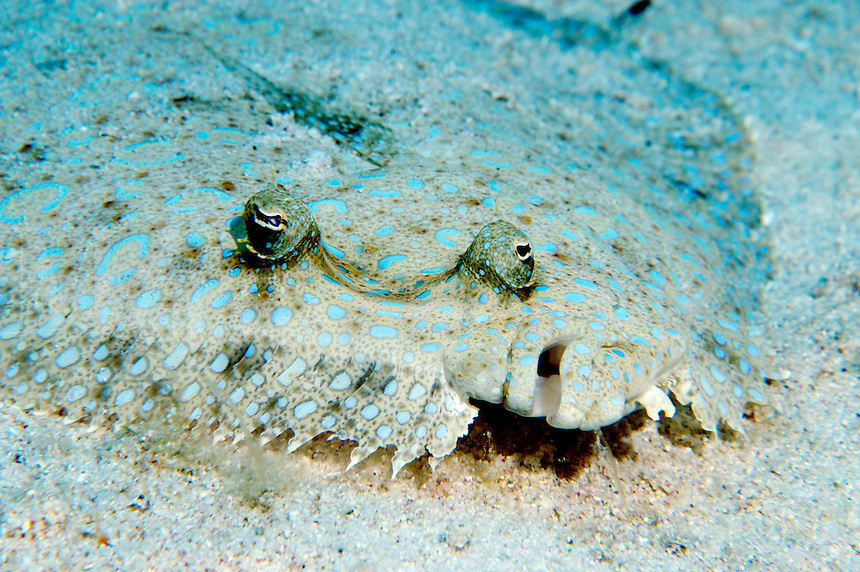 Peacock Flounder (Bothus lunatus) on a reef in Cayman Brac, Cayman Islands.