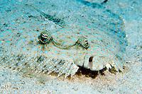 Peacock Flounder (Bothus lunatus) on a reef in Cayman Brac, Cayman Islands.