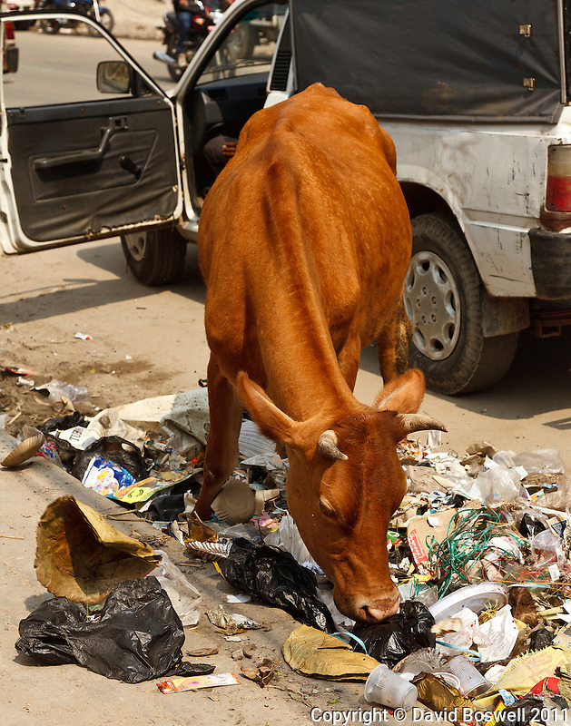 A cow eating trash in a Kathmandu street.