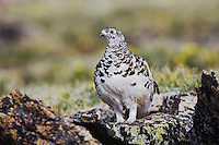 White-tailed Ptarmigan,Lagopus leucurus,adult male in summer plumage on alpine tundra, Rocky Mountain National Park, Colorado, USA, June 2007