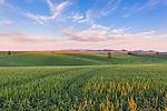 The Palouse, Whitman County, WA: Rolling hills and patterns of wheat fields at sunset