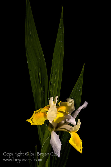 Yellow & white iris