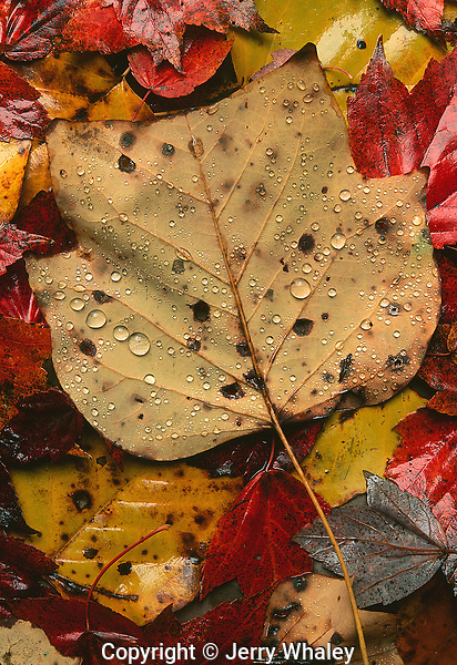 Autumn Leaves, Water Droplets