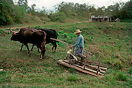 Cuba, 1992: A pair of oxen with a typical  sledge style career used in a tobacco  field in Vinales area, Cuba.