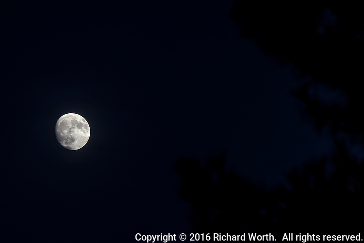 Three days away from being the Full Hunter's Moon, the gibbous moon floats among  tree branches along San Francisco Bay.