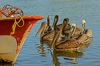 A flock of pelicans swim next to a fishing boat in hope for a free meal.
