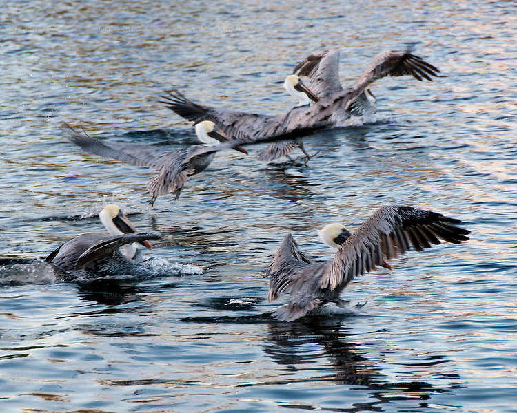 Arriving pelicans rick collier imagery for Fish cleaning station near me
