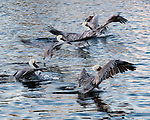 A group of pelicans land near the fish cleaning station in Tarpon Springs, Florida, USA.