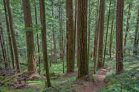 ORCAN_D157 - USA, Oregon, Willamette National Forest, South Breitenbush Gorge Trail passes through old growth forest in spring. This trail is a federally designated National Recreation Trail.