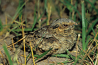 Common Pauraque, Nyctidromus albicollis,young at night on nest, The Inn at Chachalaca Bend, Cameron County, Rio Grande Valley, Texas, USA, May 2004