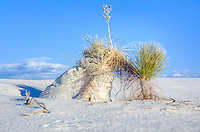 Yucca plants hold the sand from blowing at White Sands National Monument in New Mexico.