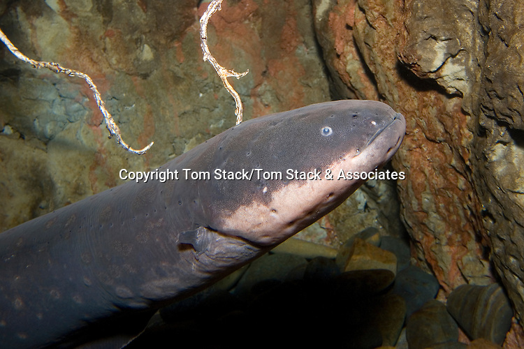 Electric eel, Electrophorus electricus