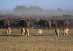 African lions stalking a buffalo herd.