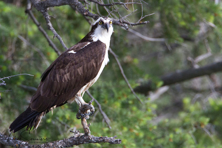The Osprey (Pandion haliaetus), sometimes known as a fish eagle or fish hawk, is a diurnal, fish-eating bird of prey. The Osprey's diet consists almost exclusively of fish. It possesses specialized talons and exhibits unique behavior to assist in hunting and catching its fish.