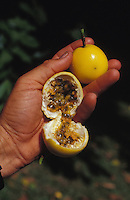 Pasion fruit or lilikoi whole and opened, in man's hand