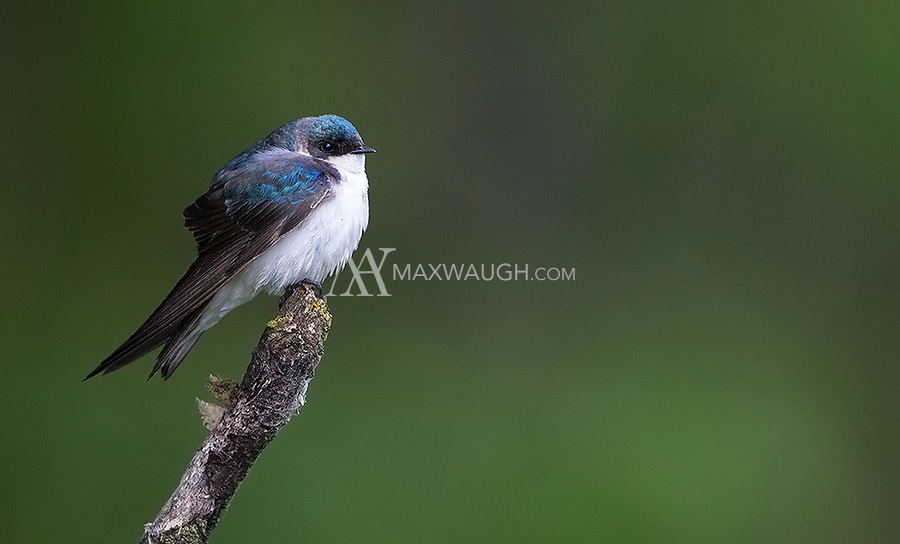 Tree swallows sport a beautiful shade of iridescent blue plumage on their back and wings.