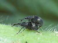 Mating Weevils - Apion sp