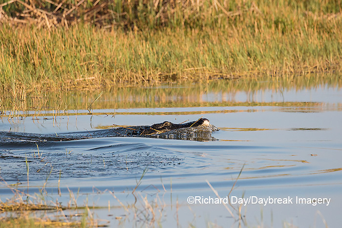 02929-00910 American Alligator (Alligator mississippiensis) swimming away with egret Viera Wetlands Brevard County, FL