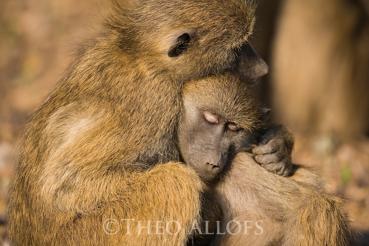 Chacma baboon (Papio ursinus) juveniles sleeping in each other's arms