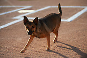 Batavia Muckdogs assistant groundkeeper Andrew Rock's dog Haley before a game against the Williamsport Crosscutters on September 3, 2016 at Dwyer Stadium in Batavia, New York.  Williamsport defeated Batavia 10-0. (Mike Janes/Four Seam Images)
