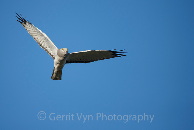 Male Northern Harrier (Circus cyaneus) in flight. Sublette County, Wyoming. May.
