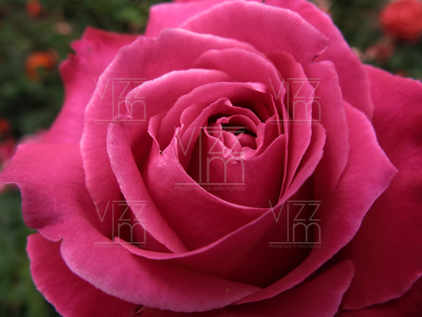 BOGOTÁ-COLOMBIA-15-01-2013. Rosa lila, Rosa lady like. Rose lilac, Rose lady like.  (Photo:VizzorImage)