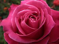 BOGOTÁ-COLOMBIA-15-01-2013. Rosa lila, Rosa lady like. Rose lilac, Rose lady like.  (Photo:VizzorImage)