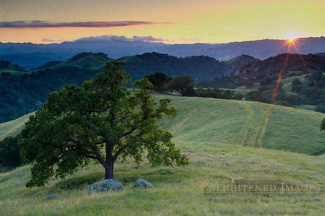 Lone oak tree and rolling hills in spring and golden sunset light, Mount Diablo State Park, California