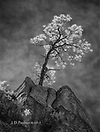 Lone Ponderosa above West Fork (Infrared)