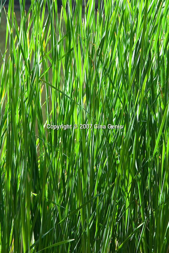 Bullrushes grasses emerge in spring at Lake Fulmor