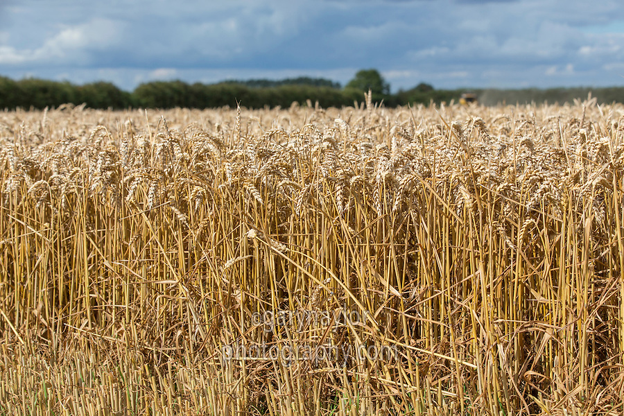 Winter Wheat in ear - Lincolnshire, August