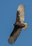 USA, Texas, Aransas Bay, Black vulture