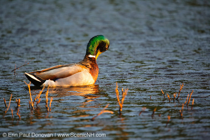 Franconia Notch State Park - Male mallard duck in  Echo Lake during the spring months in the White Mountains, New Hampshire USA