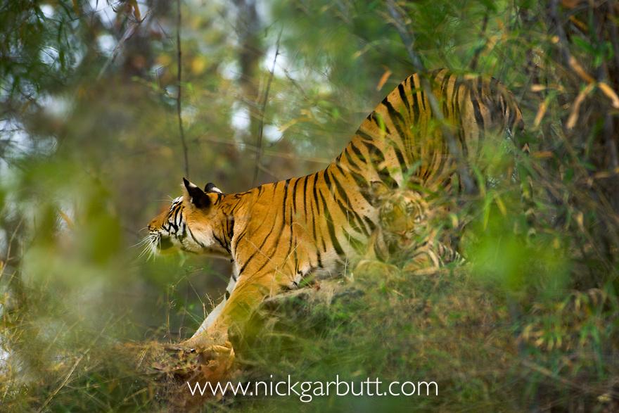 Female Bengal Tiger (Panthera tigris tigris) (Lakshmi) with cub - around 3.5 months old - stretching on rock outcrop in bamboo forest. Bandhavgarh National Park, Madhya Pradesh, India.