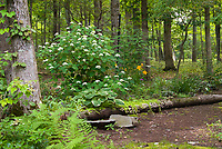 Woodland dry shade garden in July with Hydrangea arborescens 'White Dome' , Hosta Christmas Tree, ferns, Schizophrama Moonlight, Heuchera, Hemerocallis, Carex, Galium odoratum, Lysimachia nummularia Aurea, Athyrium, moss, trees