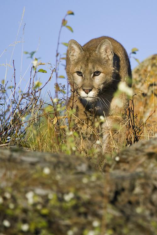 Mountain Lion stalking prey - CA