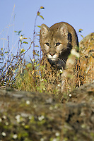 Mountain Lion stalking prey - CA