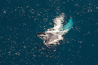 blue whale, Balaenoptera musculus, endangered, aerial of whale feeding off of San Diego, California, USA, Pacific Ocean