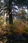 Vine maple color, Willamette National Forest
