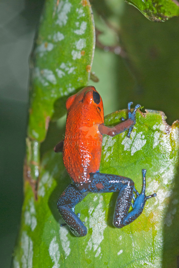 Granular poison dart frog (Dendrobatus granuliferus)